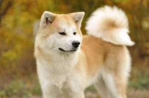 秋田犬流产的原因分析